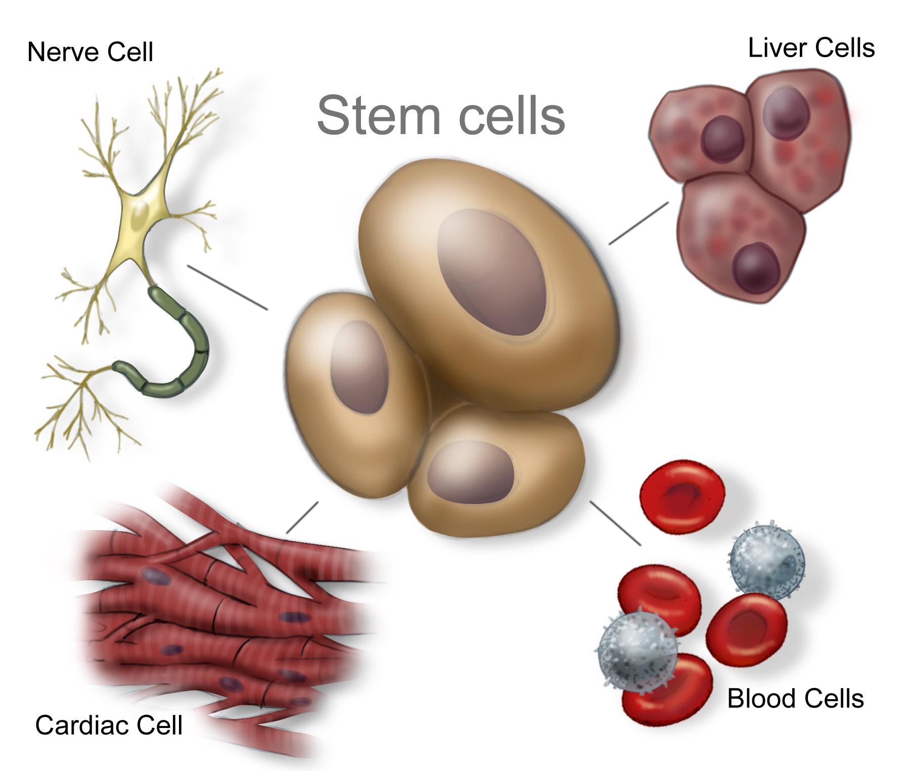 Donare celule stem